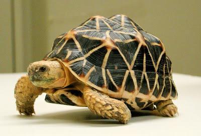 Er Pluridecorato e la tartaruga gibbona